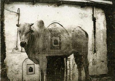 10brahman-cow