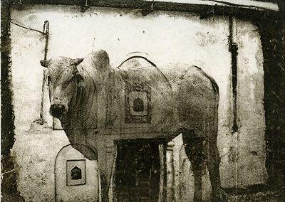 11brahman cow