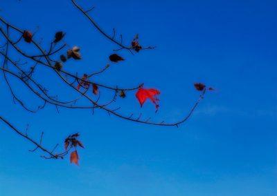 2red-leaf